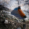 Woolly Worm<br /> Grayson Highlands State Park, Virginia<br /> USA