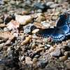 Red-Spotted Purple Swallowtail<br /> Laurel Fork, Virginia<br /> USA