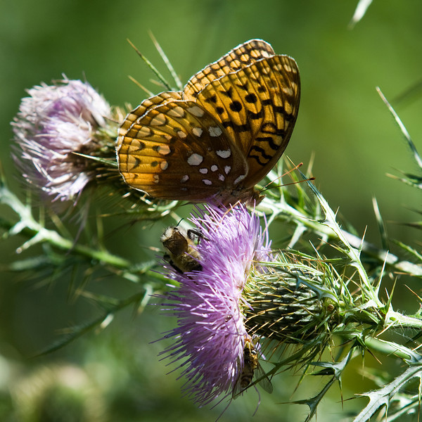 Great Spangled Fritillary on a Thistle Bloom<br /> Laurel Fork, Virginia<br /> USA