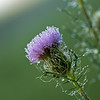 Thistle After a Night of Rain<br /> West Jefferson, North Carolina<br /> USA