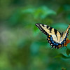 Eastern Tiger Swallowtail<br /> Charlotte, North Carolina<br /> USA