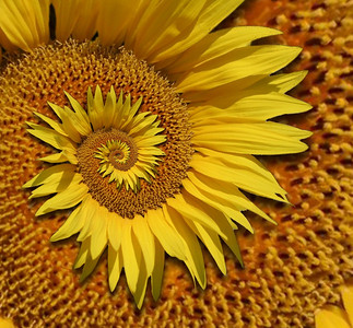Sunflower Droste