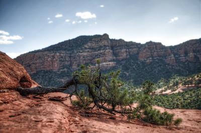 Bell Rock Tree