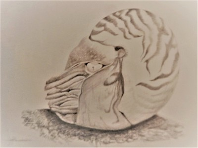 """Nautilus at Rest"" 14""x17"" Silverpoint on Heavy Duty Bee Paper with Fleur Silica Paint Ground"