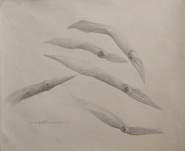 """ Monterey Squid"" 11""x14"" Silverpoint on 110lb Bee Drawing Paper"
