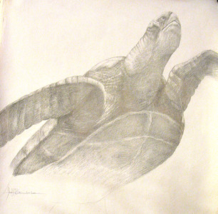 """Monterey Turtle"" 18""x24"" Silverpoint on 110lb Bee Drawing  Paper Done  August 2014 at Kaleid Gallery Two Buck Tuesdays"