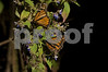 Two Mariposas feeding /  they traveled over 2000 miles from Canada to Michoacan  # 4452