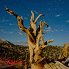 Bristle Cone Pines– White Mountain, CA<br /> Long exposure turns night into day .  Bristle Cone Pine turns time into twisted branch.