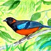 1-1scan-Scarlet-bellied Mountain-Tanager - Peru, 8 5x6, watercolor, nov 9, 2015