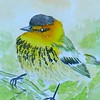 1-Cape May Warbler  4x6, watercolor, nov 17, 2015 DSCN9088