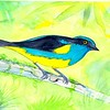 1-1scan-Yellow-tufted Dacnis- Ecuador, 8 5x6, watercolor, nov 10, 2015