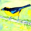 1-1scan-Blue-winged Mountain Tanager, 8 5x6, watercolor, nov 10, 2015