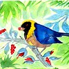 1-1scan-Golden-collared Tanager - Peru, 8 5x6, watercolor, nov 9, 2015