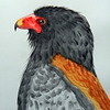 Bateleur, 11x14, watercolor, aug 22, 2016 DSCN0369-A