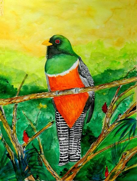 1-Orange-bellied Trogon - Panama, watercolor, 11x15, march 24, 2016 DSCN0242