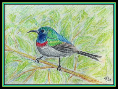 Southern Double-collared Sunbird - South Africa.  8x5.25,  color pencil, jan 14, 2018.