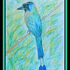 Blue-crowned Motmot - Trinidad. 8x5.25, color pencil, jan 14, 2018.