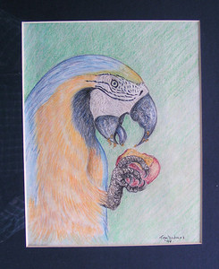 Blue and Yellow Macaw, 1994, color pencil, 8x10