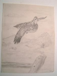 Bob White in Flight, aug 22, 1961, pencil, 8 5x11