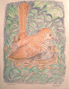 Brown Thrasher on Nest, oct 1993, color pencil, 8 5x11
