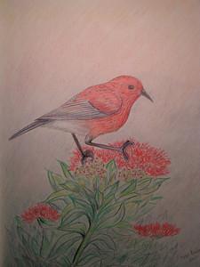 Apapane, march 2004, color pencil, 11x8 -  gift