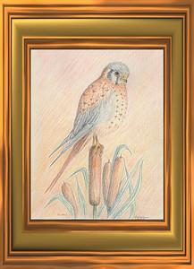 American Kestrel, 1993, color pencil, 8x10