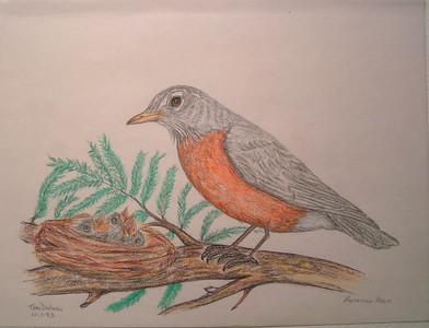 American Robin & Nest, oct 1993, color pencil, 11x8 5