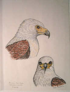 African Fish Eagle-two views, sep 1993, color pencil, 8 5x11