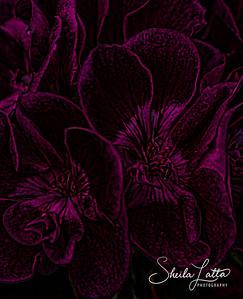 Geraniums.  Susan G. Komen special pink addition.