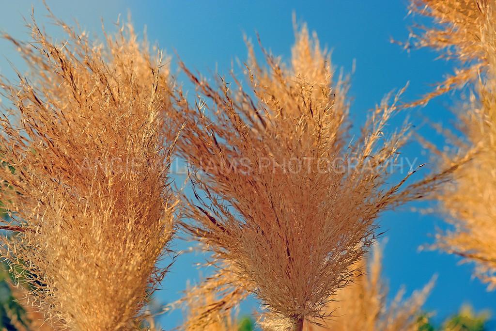 Pampas Grass against Blue Sky