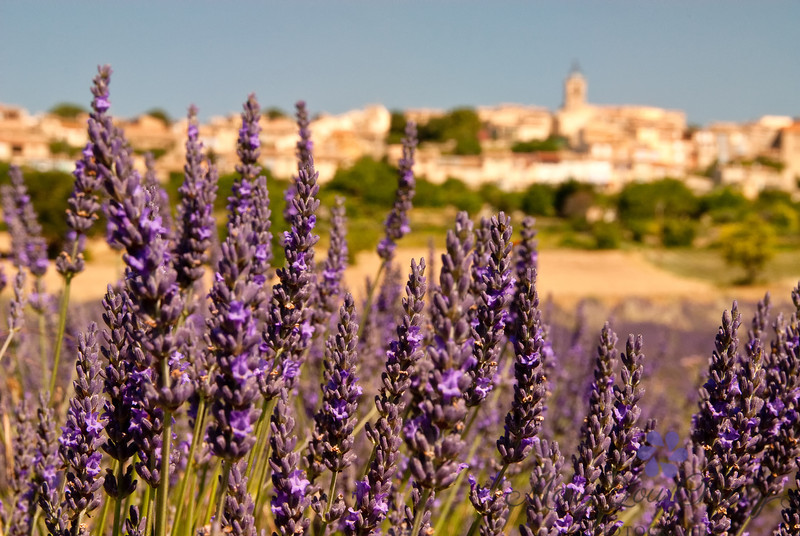 Lavender Town in France