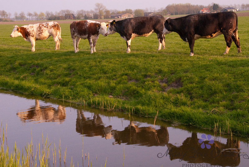 Cows in the Netherlands.