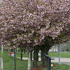 The trees at Riverfront Park in Fitchburg are in full bloom and are making the park look like spring has arrived but the temperature says different. SENTINEL & ENTERPRISE/JOHN LOVE