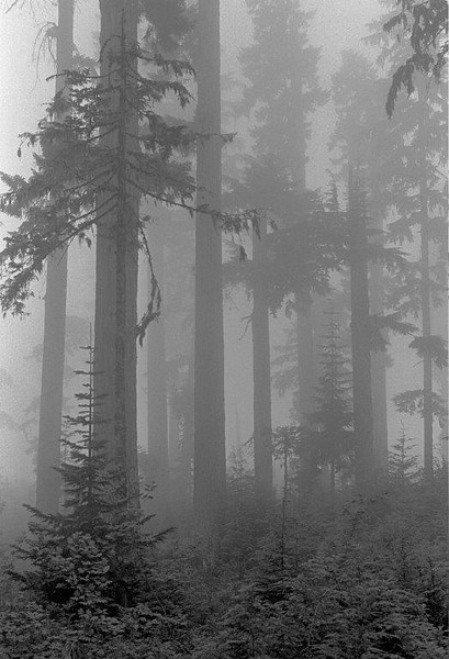 Fog hangs in this stand of Douglas firs and western hemlocks near Mount St. Helens, WA.
