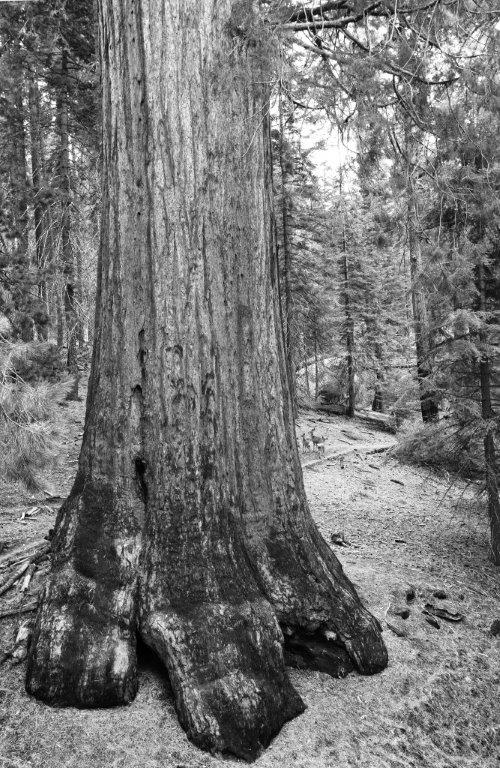 Deer on the right side of this giant sequoia show how large these trees have become over the past two thousand years. CA