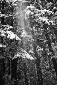 A gentle breeze dislodges snow from the limbs of old growth Douglas firs. WA