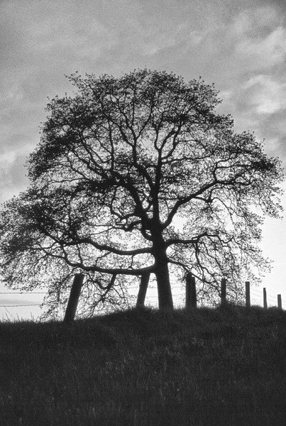 A lone Oregon white oak becomes part of the fence along Ruddel Road in Lacey, WA