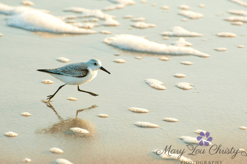 Sandpiper on the run