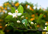 Orange Blossom -45.jpg