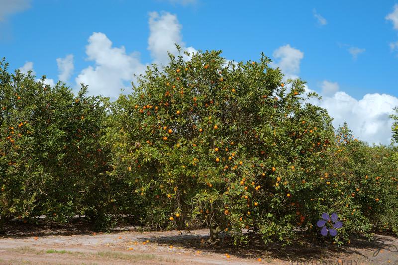 HDR Orange groves