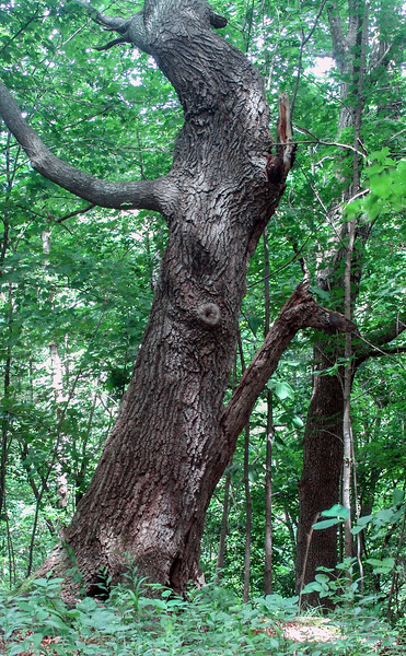 A bit closer to the Ent, May 29, 2004