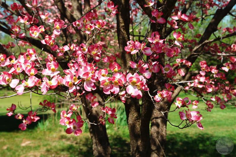 pink dogwood DSC01343W