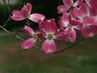 Red dogwood bract