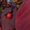 Burning Bush Berry