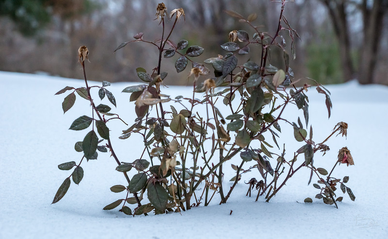 Miniature rose bush is happy in the snow.