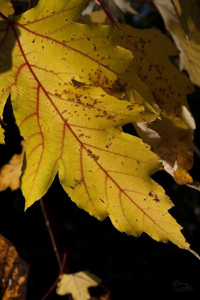 fallFoliageMacro_005_05994