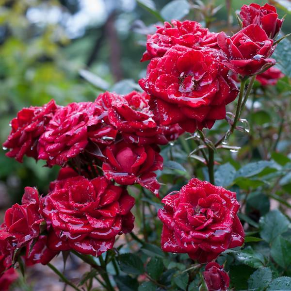 The rose enjoys the rain.