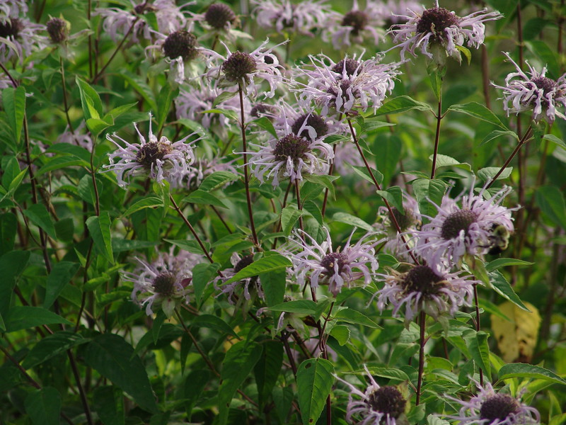 Horsemint or something like that.  What I know is that tea made from these flowers will put you to sleep.