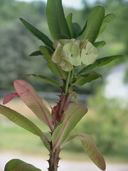 mystery plant DSC04420