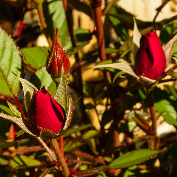 Mother's day miniature rose bush